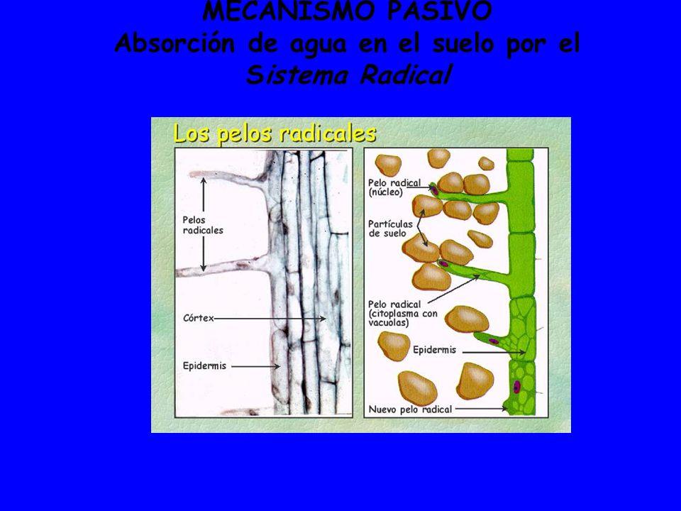 MECANISMO PASIVO Absorción de agua en el suelo por el Sistema Radical