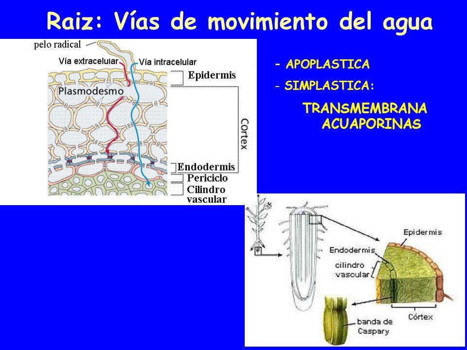 Raiz: Vías de movimiento del agua - APOPLASTICA - SIMPLASTICA: TRANSMEMBRANA ACUAPORINAS