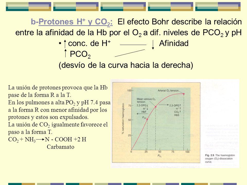 b-Protones H + y CO 2 : El efecto Bohr describe la relación entre la afinidad de la Hb por el O 2 a dif. niveles de PCO 2 y pH conc. de H + Afinidad P