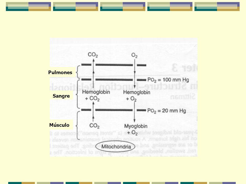 Pulmones Sangre Músculo