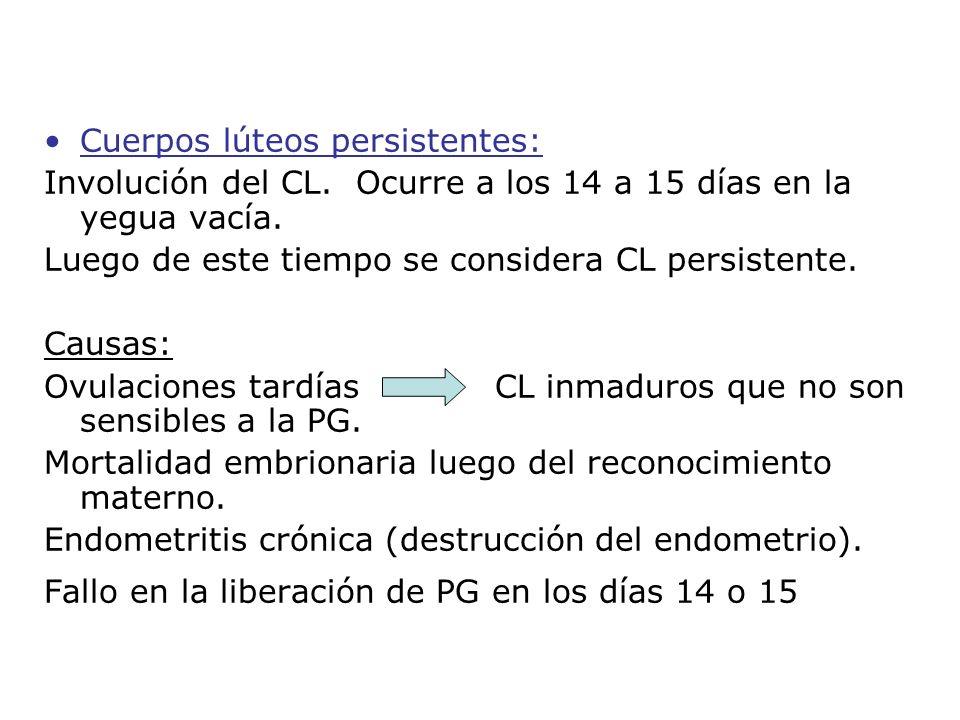 Cuerpos lúteos persistentes: Involución del CL. Ocurre a los 14 a 15 días en la yegua vacía. Luego de este tiempo se considera CL persistente. Causas: