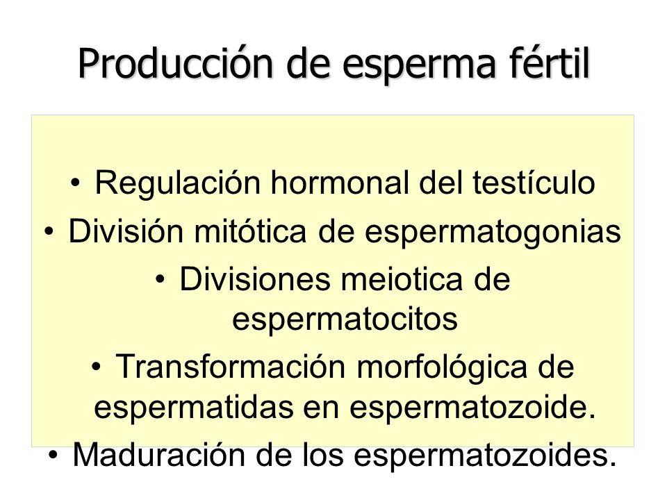 Producción de esperma fértil Regulación hormonal del testículo División mitótica de espermatogonias Divisiones meiotica de espermatocitos Transformaci