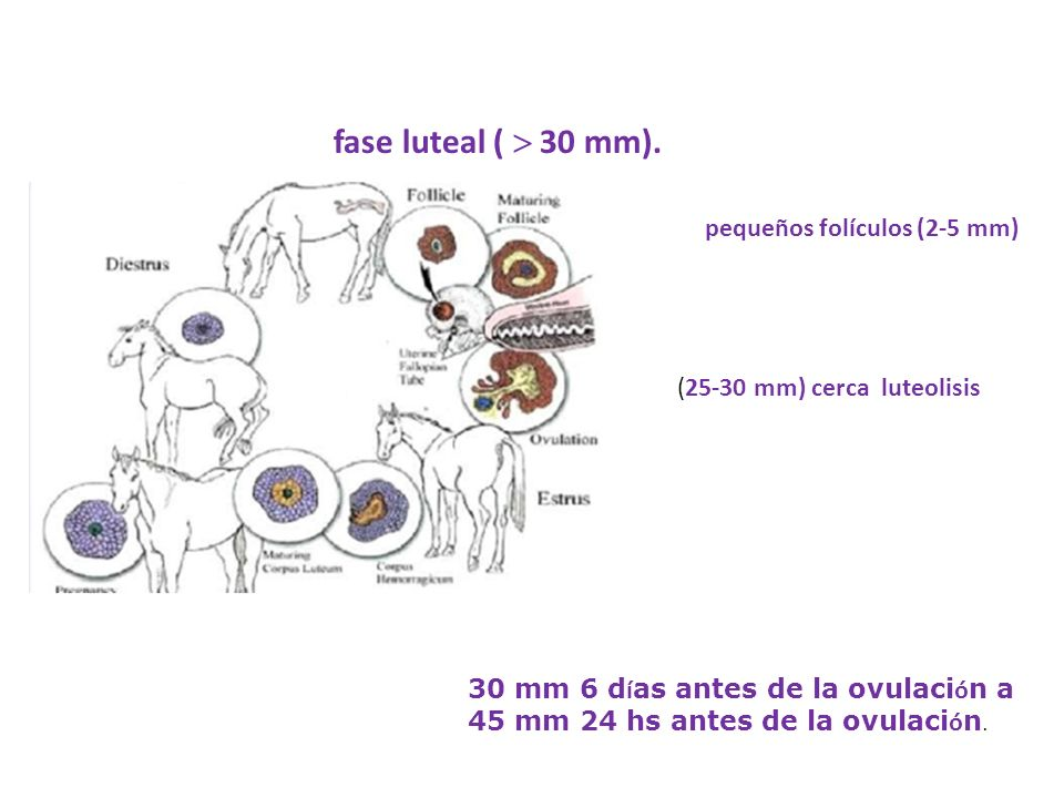 fase luteal ( 30 mm). pequeños folículos (2-5 mm) (25-30 mm) cerca luteolisis 30 mm 6 d í as antes de la ovulaci ó n a 45 mm 24 hs antes de la ovulaci
