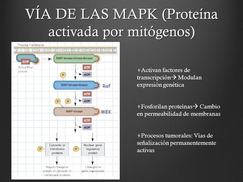 VÍA DE LAS MAPK (Proteína activada por mitógenos) +Activan factores de transcripción Modulan expresión genética +Fosforilan proteínas Cambio en permea