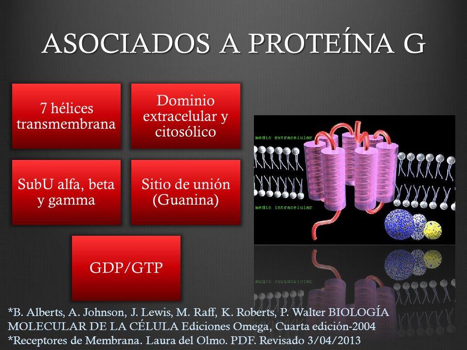 ASOCIADOS A PROTEÍNA G 7 hélices transmembrana Dominio extracelular y citosólico SubU alfa, beta y gamma Sitio de unión (Guanina) GDP/GTP *B. Alberts,