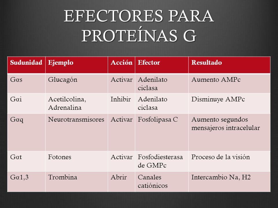EFECTORES PARA PROTEÍNAS G SudunidadEjemploAcciónEfectorResultado GαsGαsGlucagónActivarAdenilato ciclasa Aumento AMPc GαiGαiAcetilcolina, Adrenalina I