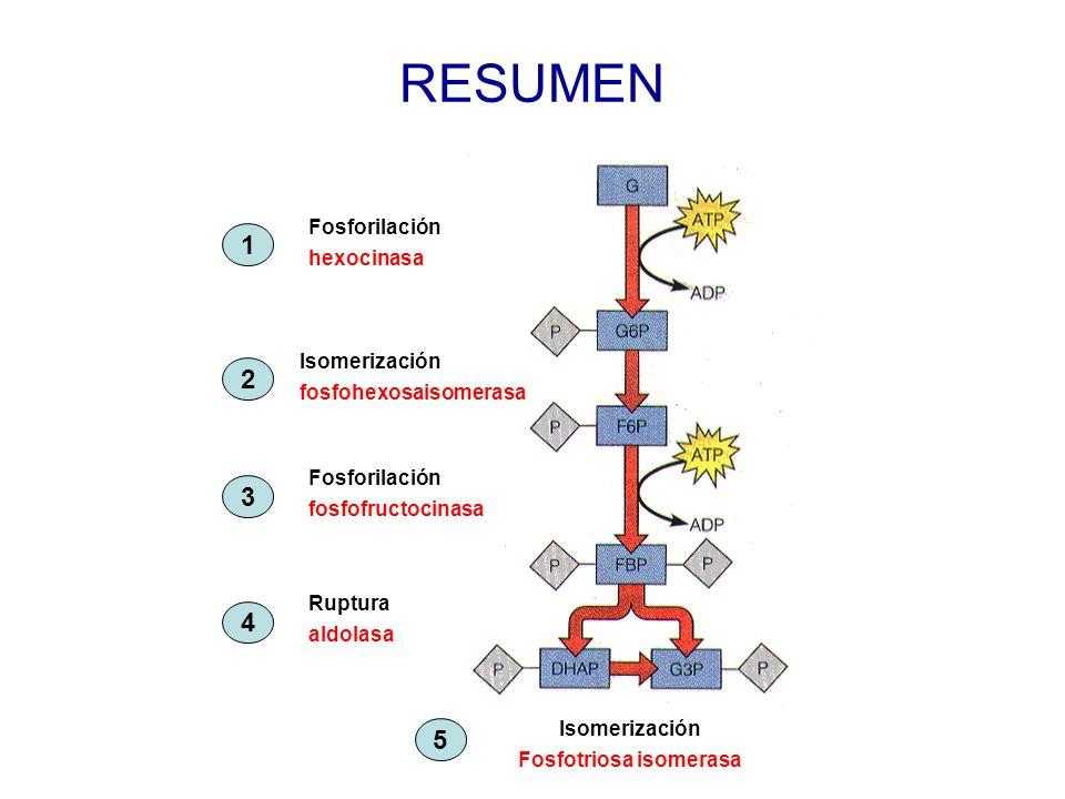 RESUMEN Fosforilación hexocinasa Isomerización fosfohexosaisomerasa Fosforilación fosfofructocinasa Ruptura aldolasa Isomerización Fosfotriosa isomera
