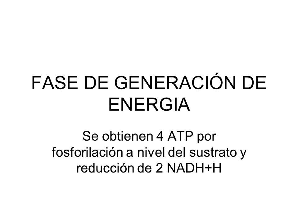 FASE DE GENERACIÓN DE ENERGIA Se obtienen 4 ATP por fosforilación a nivel del sustrato y reducción de 2 NADH+H