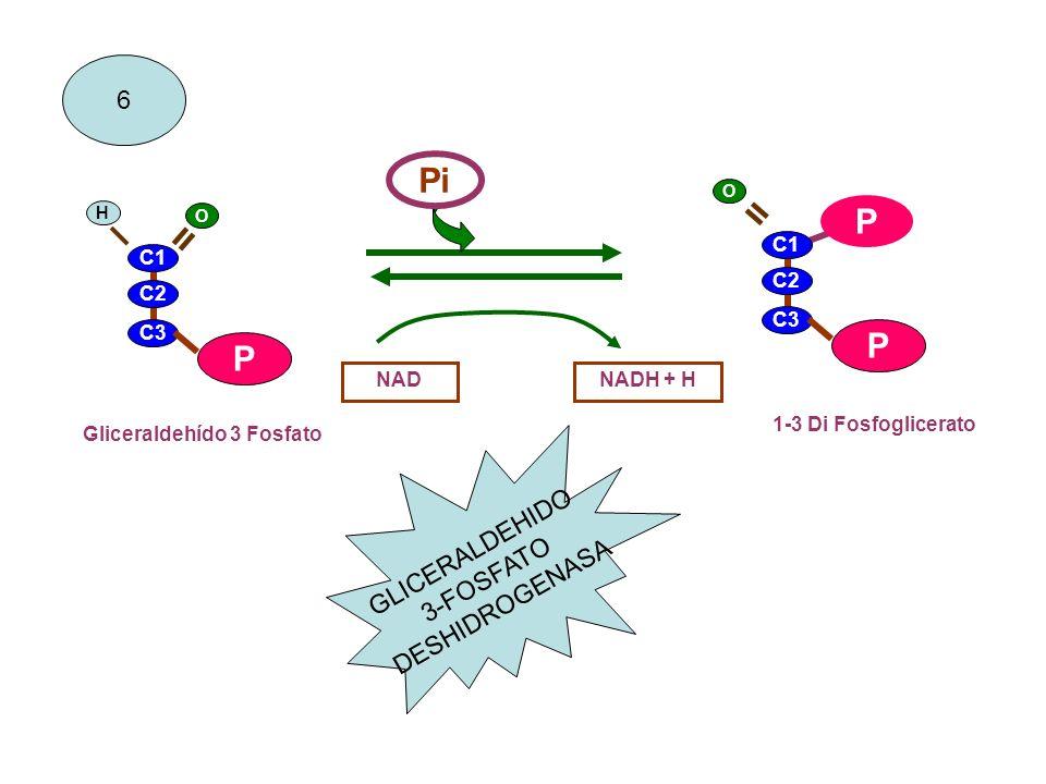 C1 C2 C3 P P NADNADH + H 1-3 Di Fosfoglicerato 6 C1 C2 C3 P = O H Gliceraldehído 3 Fosfato GLICERALDEHIDO 3-FOSFATO DESHIDROGENASA Pi O =