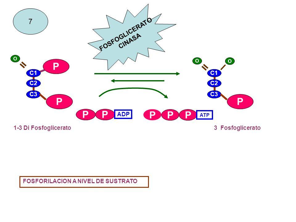 C1 C2 C3 P P P PP ATP PP ADP C1 C2 C3 P 1-3 Di Fosfoglicerato3 Fosfoglicerato P 7 FOSFORILACION A NIVEL DE SUSTRATO FOSFOGLICERATO CINASA O = O = O