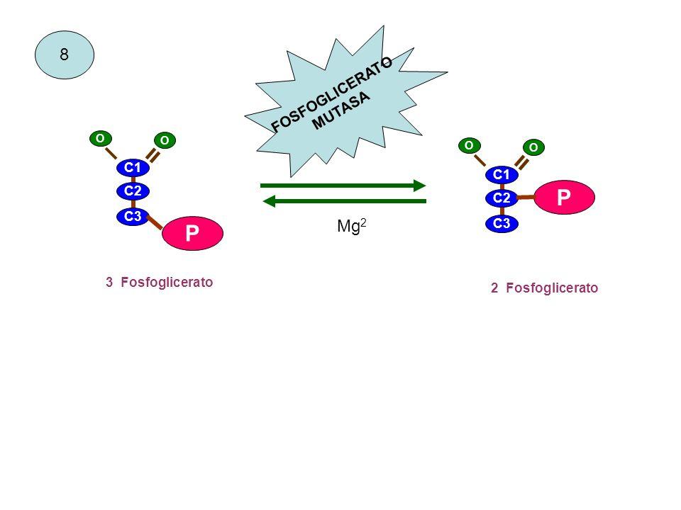 8 3 Fosfoglicerato 2 Fosfoglicerato FOSFOGLICERATO MUTASA C1 C2 C3 P = O O C1 C2 C3 P = O O Mg 2