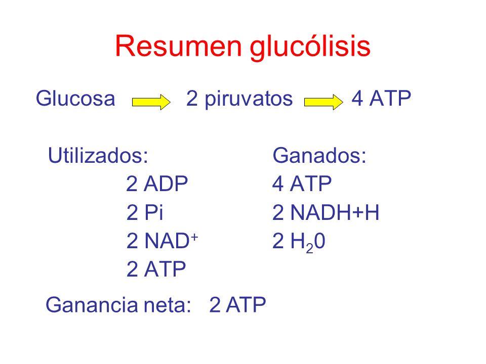 Resumen glucólisis Glucosa 2 piruvatos 4 ATP Utilizados:Ganados: 2 ADP4 ATP 2 Pi2 NADH+H 2 NAD + 2 H 2 0 2 ATP Ganancia neta: 2 ATP