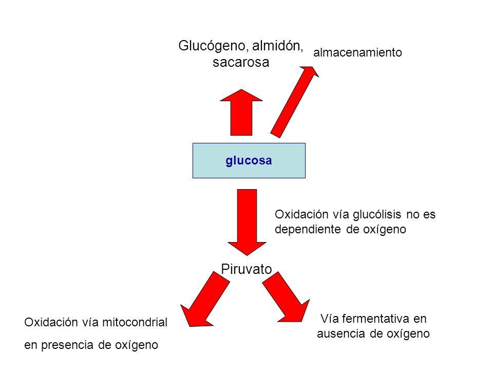 glucosa Piruvato Glucógeno, almidón, sacarosa almacenamiento Oxidación vía glucólisis no es dependiente de oxígeno Oxidación vía mitocondrial en prese