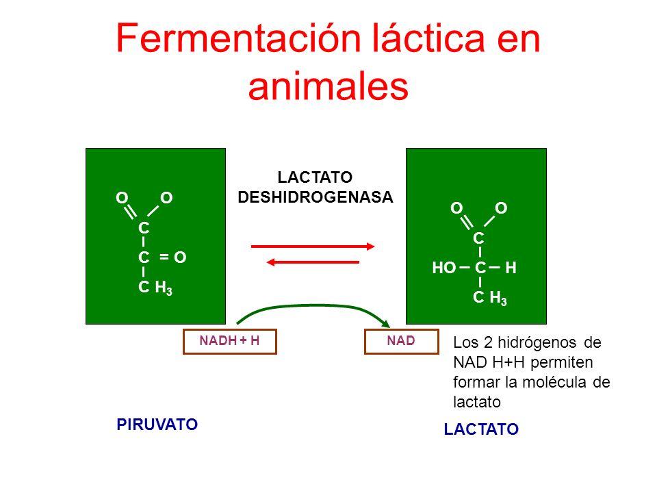 Fermentación láctica en animales LACTATO DESHIDROGENASA O O C C = O C H 3 O O C HO C H C H 3 NADNADH + H PIRUVATO LACTATO Los 2 hidrógenos de NAD H+H