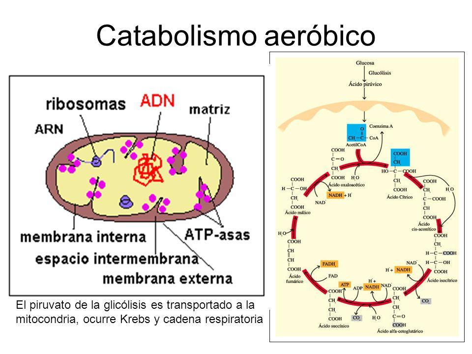 Catabolismo aeróbico El piruvato de la glicólisis es transportado a la mitocondria, ocurre Krebs y cadena respiratoria