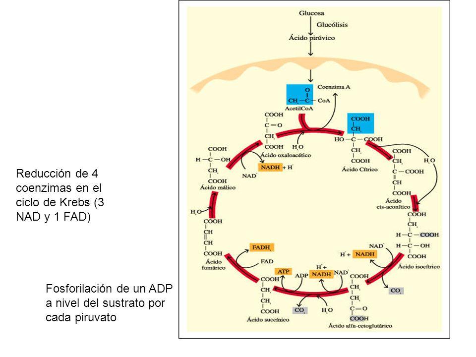 Reducción de 4 coenzimas en el ciclo de Krebs (3 NAD y 1 FAD) Fosforilación de un ADP a nivel del sustrato por cada piruvato