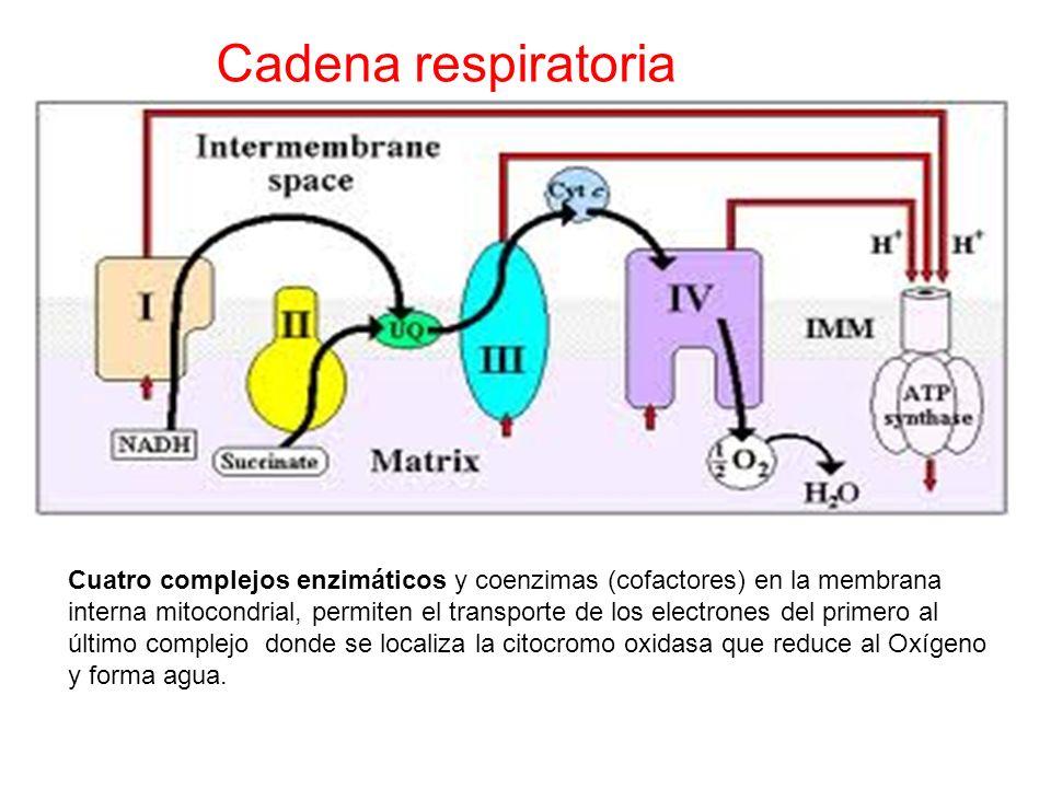Cadena respiratoria Cuatro complejos enzimáticos y coenzimas (cofactores) en la membrana interna mitocondrial, permiten el transporte de los electrone