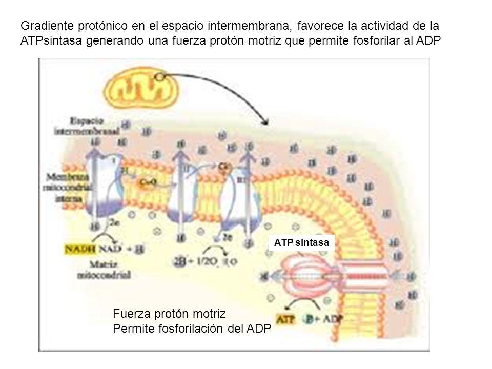 Gradiente protónico en el espacio intermembrana, favorece la actividad de la ATPsintasa generando una fuerza protón motriz que permite fosforilar al A