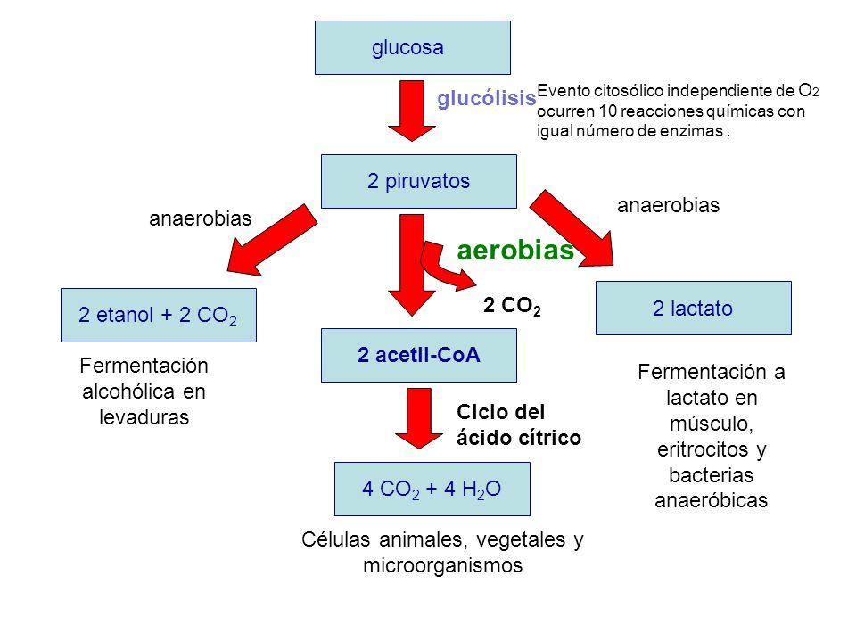 glucosa 2 piruvatos 2 etanol + 2 CO 2 2 lactato 2 acetil-CoA 4 CO 2 + 4 H 2 O 2 CO 2 anaerobias aerobias Fermentación alcohólica en levaduras Fermenta