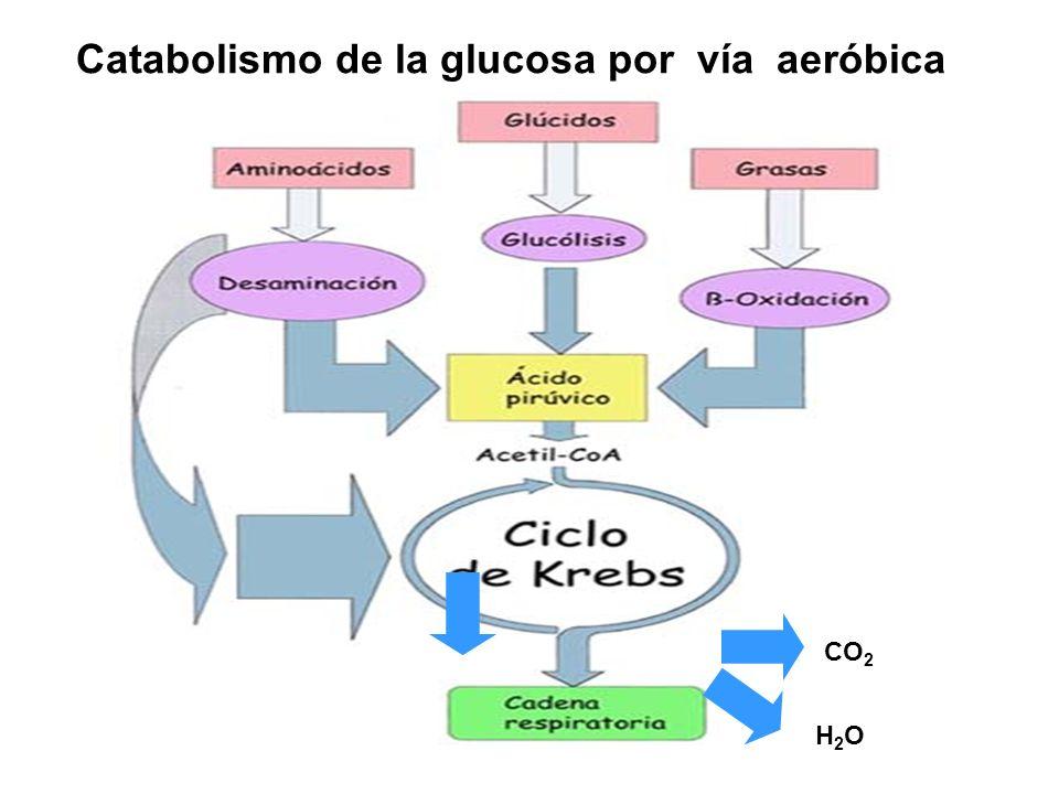 Catabolismo de la glucosa por vía aeróbica CO 2 H2OH2O