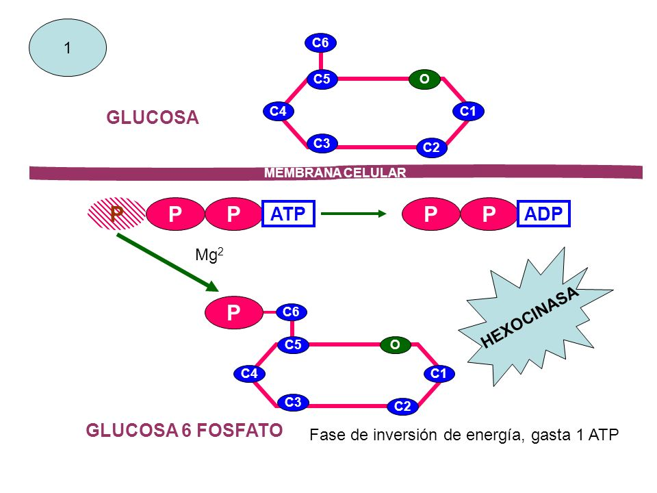 C1 C6 C2 C3 C4 C5O GLUCOSA P C1 C6 C2 C3 C4 C5O P PP ATP PP ADP GLUCOSA 6 FOSFATO MEMBRANA CELULAR 1 Mg 2 HEXOCINASA Fase de inversión de energía, gas