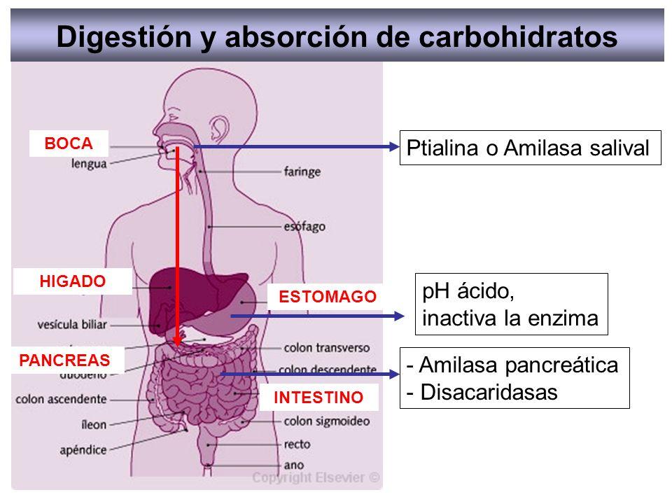 Ptialina o Amilasa salival - Amilasa pancreática - Disacaridasas pH ácido, inactiva la enzima Digestión y absorción de carbohidratos BOCA ESTOMAGO PAN