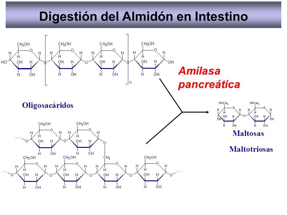 Amilasa pancreática Maltosas Maltotriosas Oligosacáridos Digestión del Almidón en Intestino
