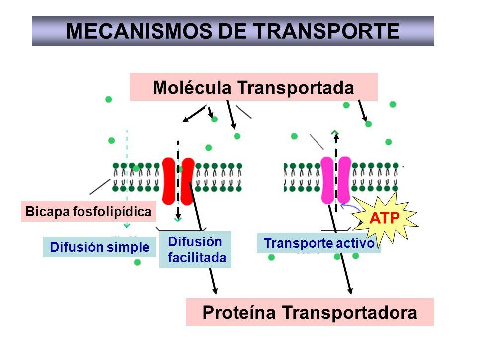 MECANISMOS DE TRANSPORTE Molécula Transportada Proteína Transportadora Bicapa fosfolipídica Difusión facilitada Difusión simple Transporte activo ATP