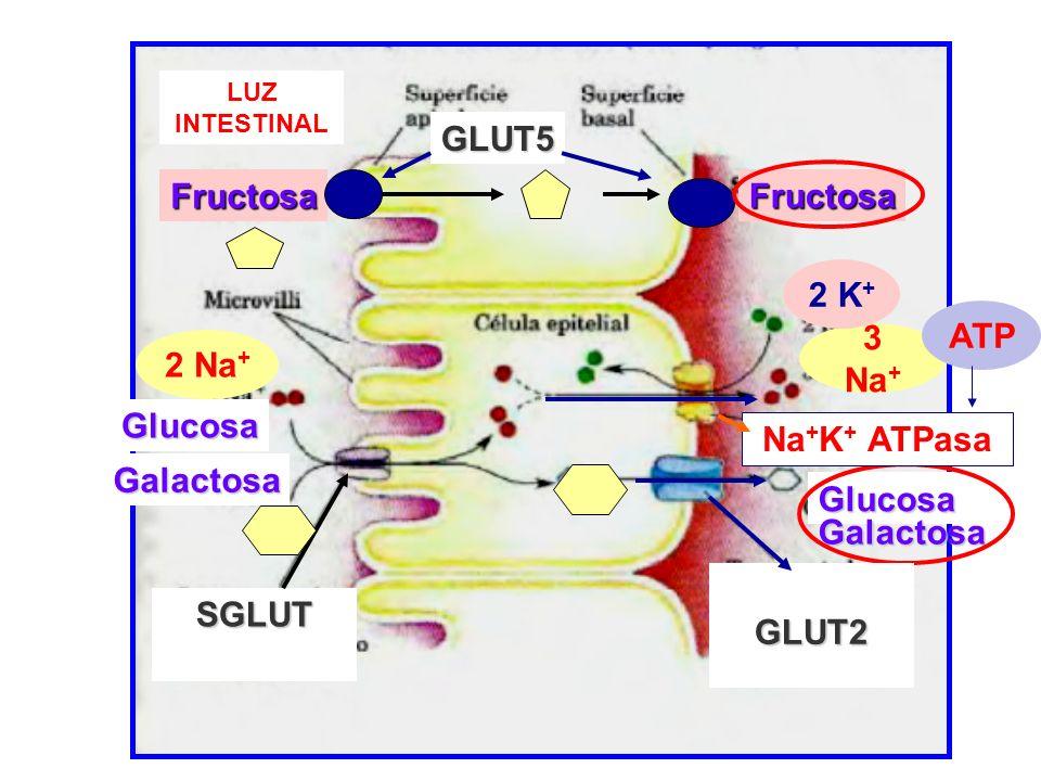 SGLUT Glucosa Glucosa Galactosa Galactosa Fructosa GLUT5 Fructosa LUZ INTESTINAL 2 Na + 3 Na + 2 K + GLUT2 Na + K + ATPasa ATP