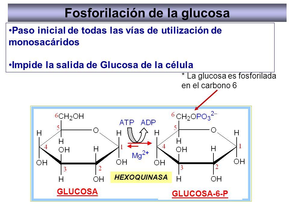 * La glucosa es fosforilada en el carbono 6 Fosforilación de la glucosa Paso inicial de todas las vías de utilización de monosacáridos Impide la salid