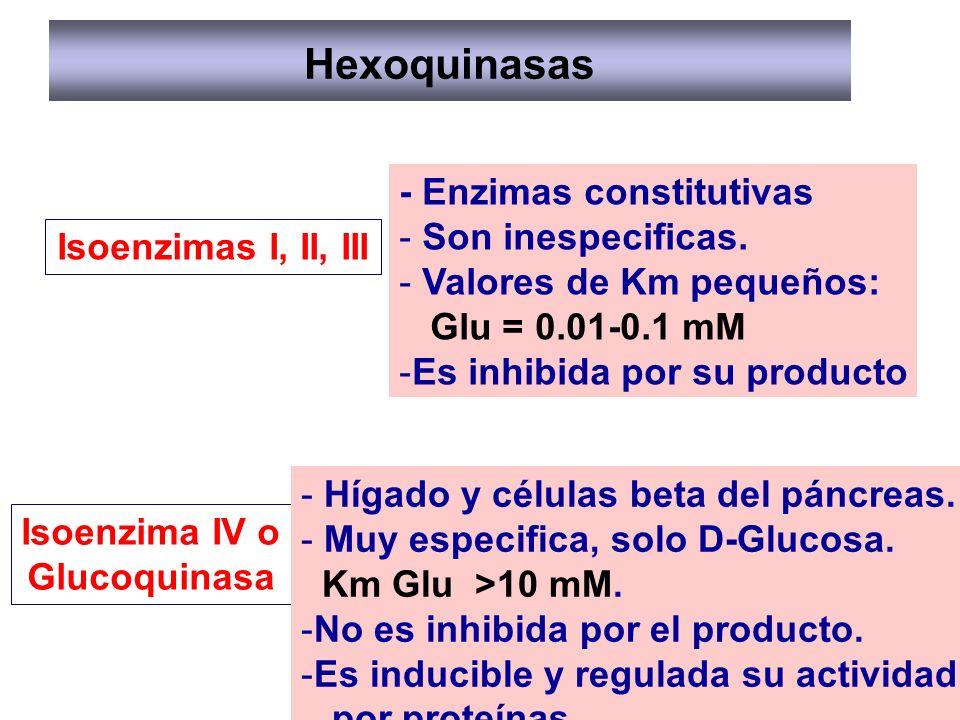 Hexoquinasas Isoenzimas I, II, III Isoenzima IV o Glucoquinasa - Enzimas constitutivas - Son inespecificas. - Valores de Km pequeños: Glu = 0.01-0.1 m