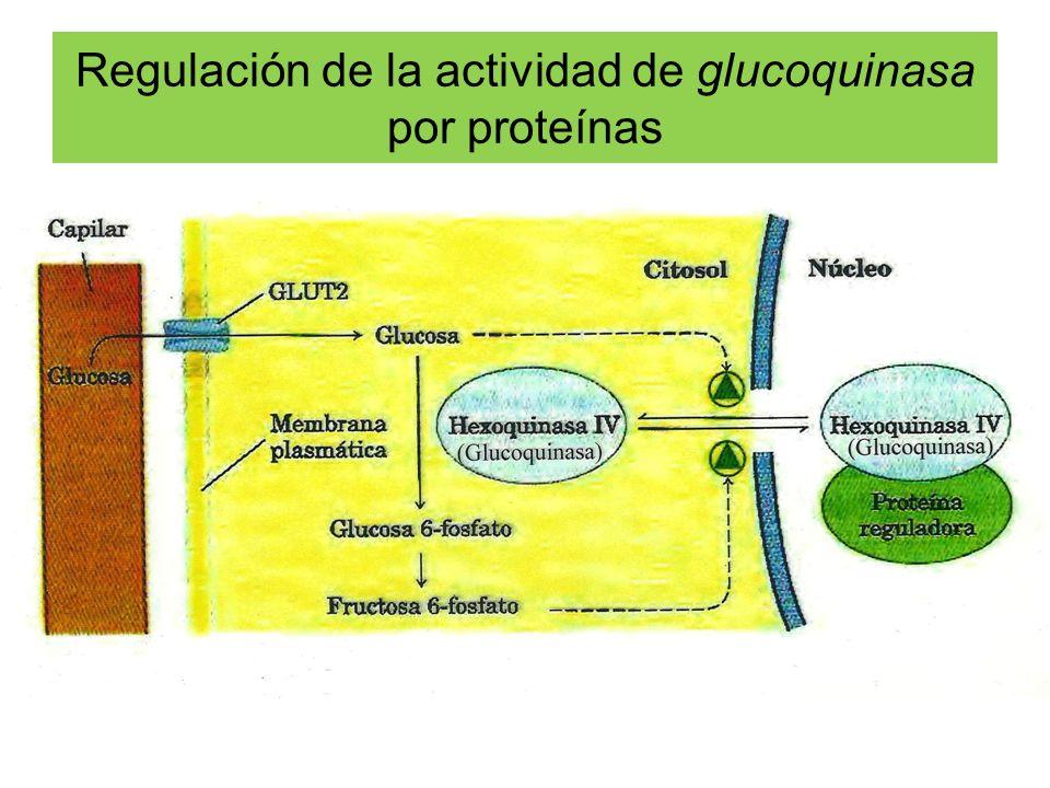 Regulación de la actividad de glucoquinasa por proteínas