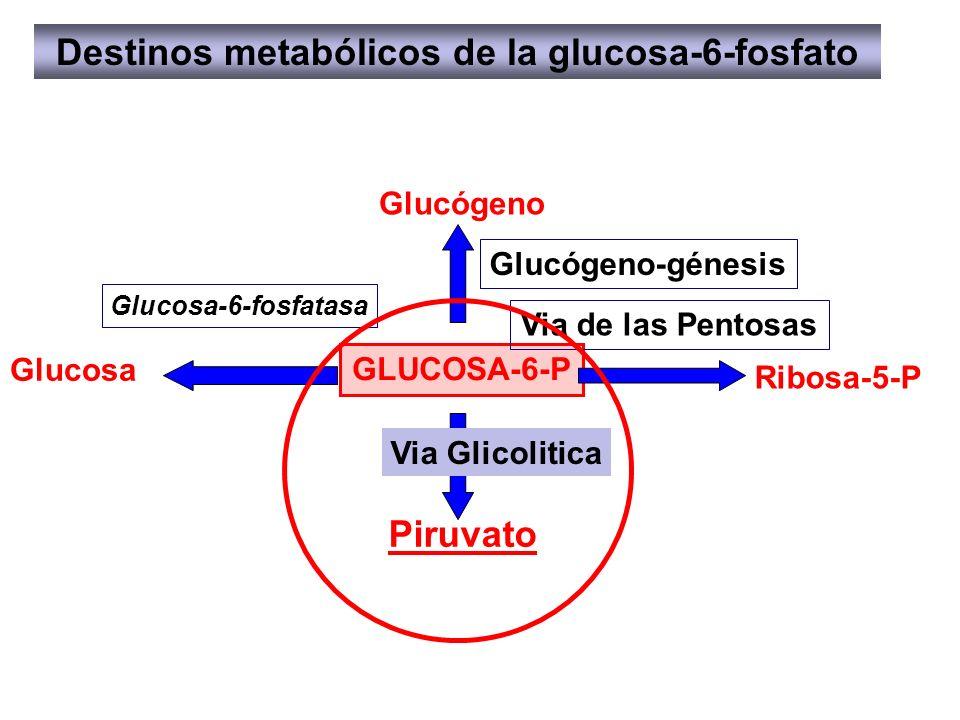 GLUCOSA-6-P Destinos metabólicos de la glucosa-6-fosfato Glucógeno-génesis Glucógeno Via de las Pentosas Ribosa-5-P Piruvato Glucosa Glucosa-6-fosfata