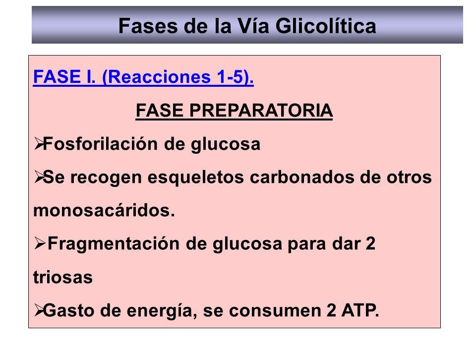 FASE I. (Reacciones 1-5). FASE PREPARATORIA Fosforilación de glucosa Se recogen esqueletos carbonados de otros monosacáridos. Fragmentación de glucosa