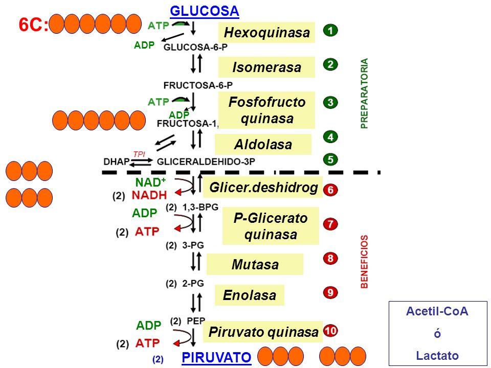 6C: GLUCOSA PIRUVATO ADP NAD + Acetil-CoA ó Lactato ADP Hexoquinasa Isomerasa Fosfofructo quinasa Aldolasa Glicer.deshidrog P-Glicerato quinasa Mutasa