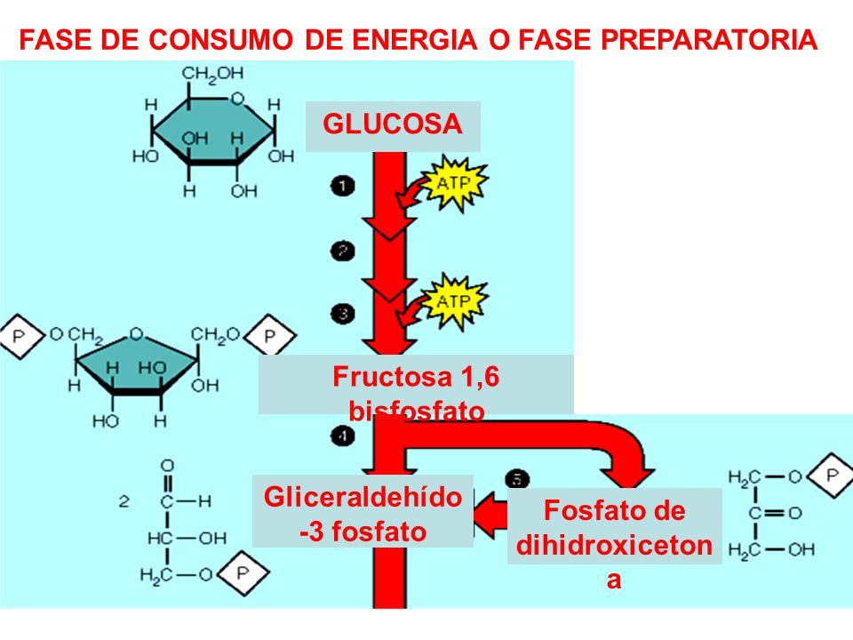 GLUCOSA Gliceraldehído -3 fosfato Fosfato de dihidroxiceton a FASE DE CONSUMO DE ENERGIA O FASE PREPARATORIA Fructosa 1,6 bisfosfato