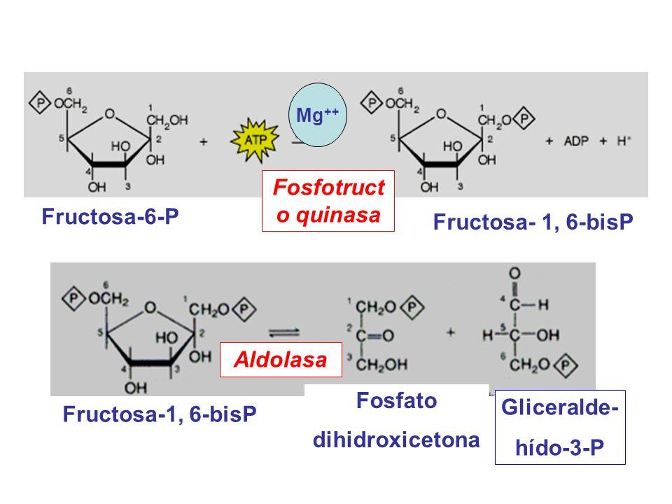 Fructosa-1, 6-bisP Gliceralde- hído-3-P Fosfato dihidroxicetona Aldolasa Fructosa-6-P Fructosa- 1, 6-bisP Fosfotruct o quinasa Mg ++