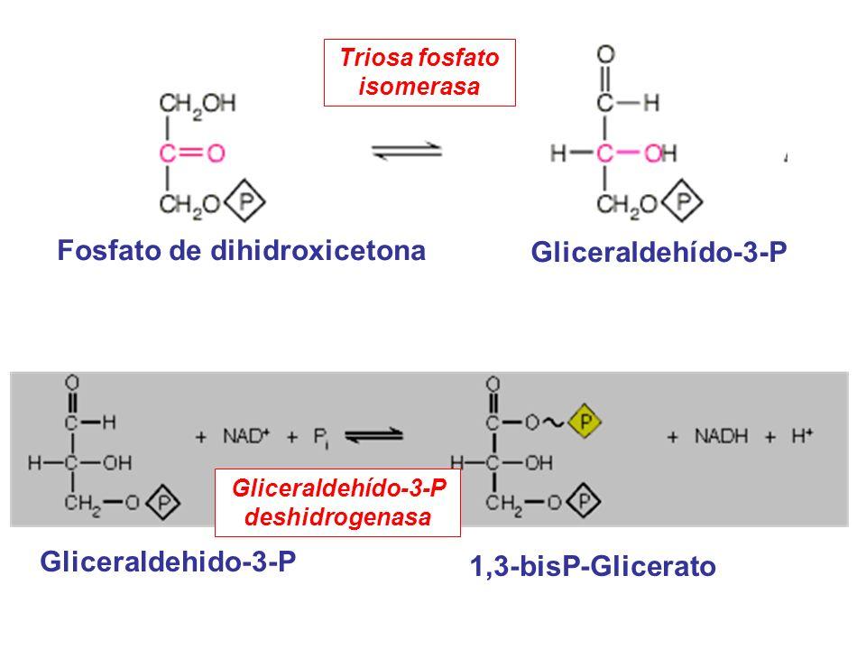Gliceraldehído-3-P Fosfato de dihidroxicetona Triosa fosfato isomerasa Gliceraldehido-3-P 1,3-bisP-Glicerato Gliceraldehído-3-P deshidrogenasa