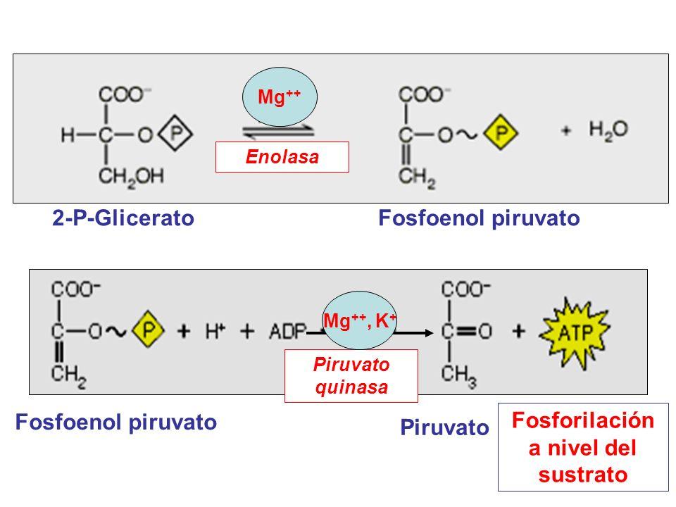 2-P-GliceratoFosfoenol piruvato Enolasa Mg ++ Fosfoenol piruvato Piruvato Piruvato quinasa Fosforilación a nivel del sustrato Mg ++, K +