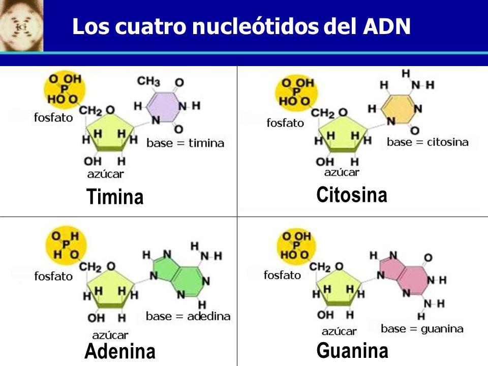 Los cuatro nucleótidos del ADN Timina Citosina Adenina Guanina