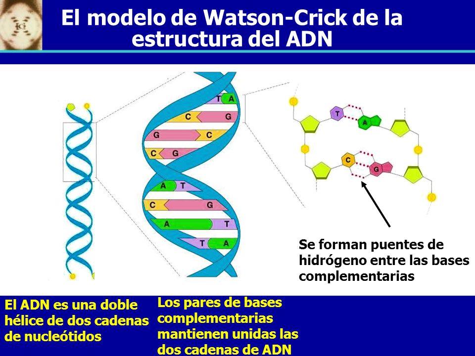 Se forman puentes de hidrógeno entre las bases complementarias Los pares de bases complementarias mantienen unidas las dos cadenas de ADN El ADN es un
