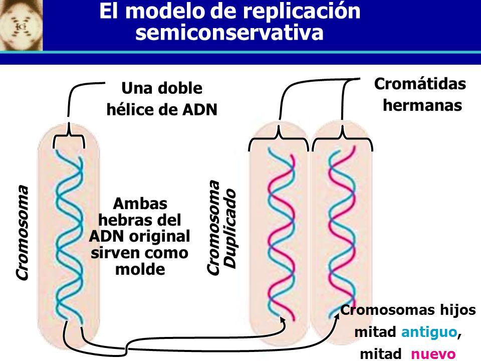 El modelo de replicación semiconservativa Una doble hélice de ADN C r o m o s o m a D u p l i c a d o C r o m o s o m a Cromosomas hijos mitad antiguo