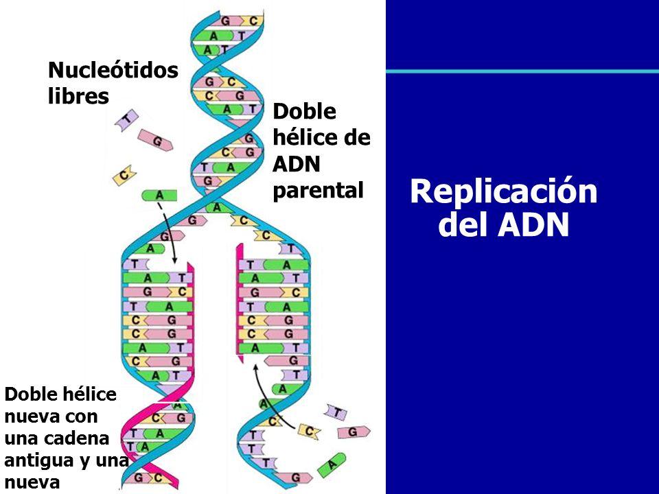 Doble hélice de ADN parental Doble hélice nueva con una cadena antigua y una nueva Replicación del ADN Nucleótidos libres