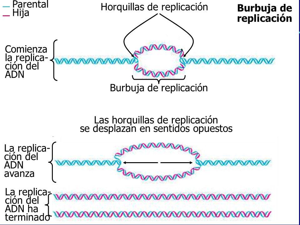 Las horquillas de replicación se desplazan en sentidos opuestos Parental Hija Horquillas de replicación Comienza la replica- ción del ADN Burbuja de r