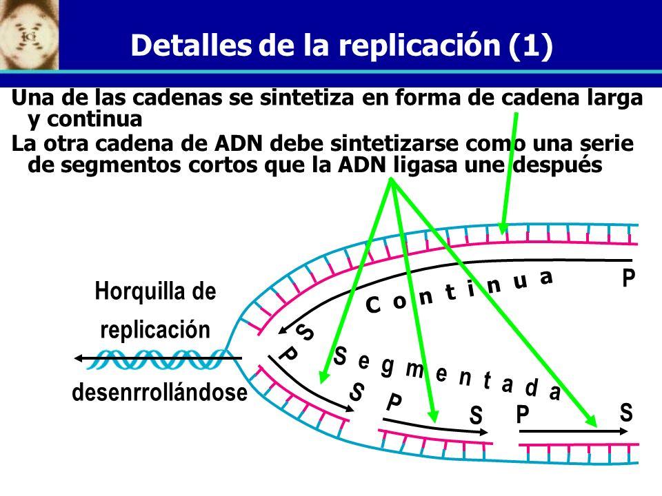 Detalles de la replicación (1) Una de las cadenas se sintetiza en forma de cadena larga y continua La otra cadena de ADN debe sintetizarse como una se