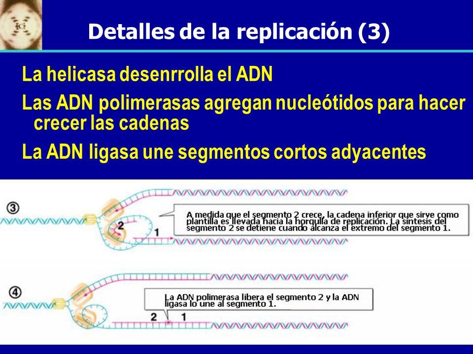 La helicasa desenrrolla el ADN Las ADN polimerasas agregan nucleótidos para hacer crecer las cadenas La ADN ligasa une segmentos cortos adyacentes Det