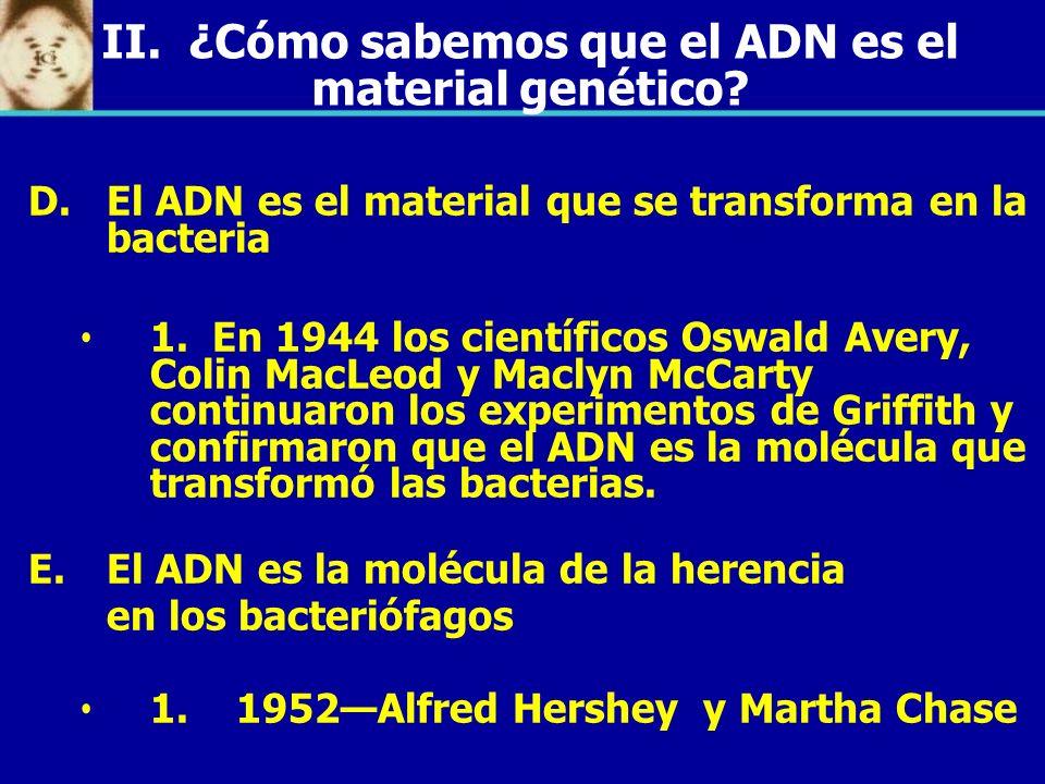 D. D.El ADN es el material que se transforma en la bacteria 1. En 1944 los científicos Oswald Avery, Colin MacLeod y Maclyn McCarty continuaron los ex