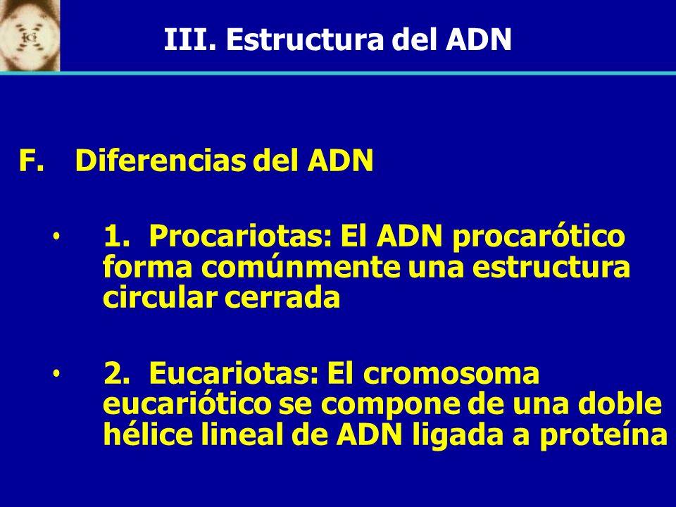 III. Estructura del ADN F. F.Diferencias del ADN 1. Procariotas: El ADN procarótico forma comúnmente una estructura circular cerrada 2. Eucariotas: El