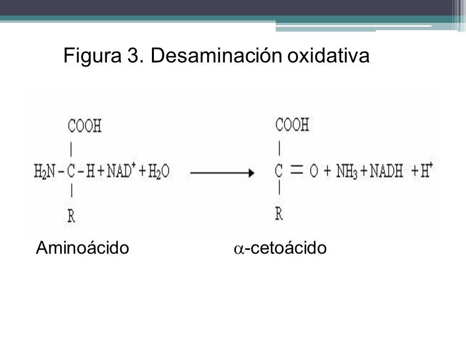 Figura 3. Desaminación oxidativa Aminoácido -cetoácido
