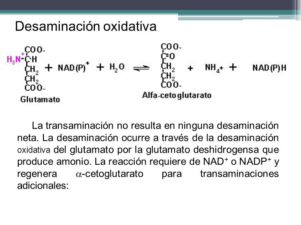 La transaminación no resulta en ninguna desaminación neta. La desaminación ocurre a través de la desaminación oxidativa del glutamato por la glutamato